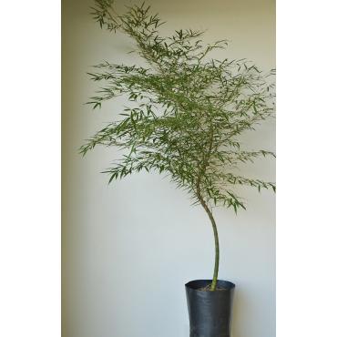 Planta Bambu mosso